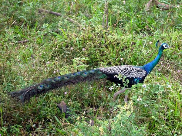 safari peacock