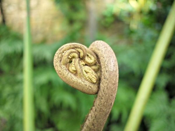 fern head