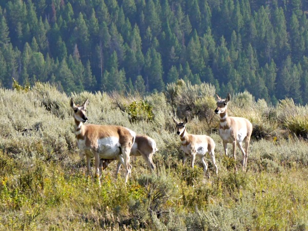 pronghorn family